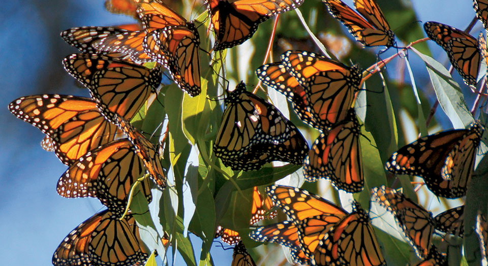 Declining ruler butterfly populaces might be difficult to reestablish