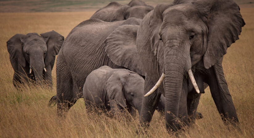 Zimbabwe to sell chasing rights for imperiled elephants