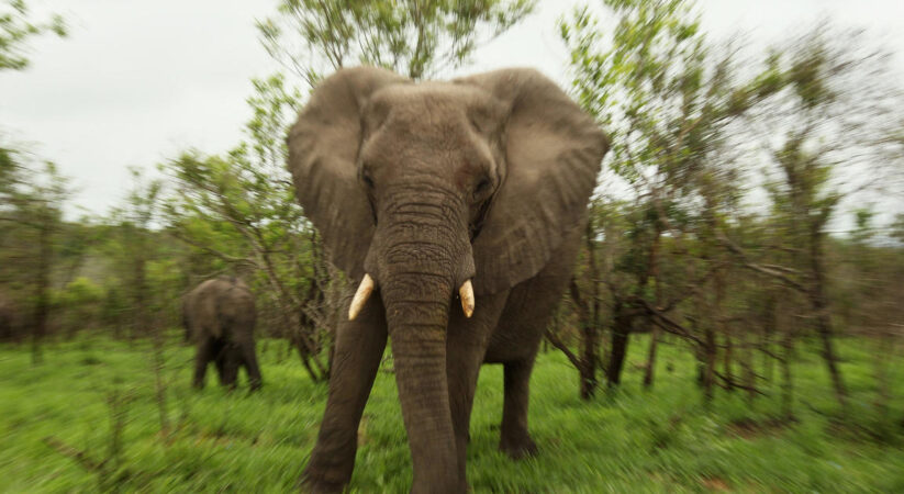 Elephants stomp on presumed poacher to death in South African  national  park