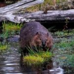 Web blackout in canada accused on beavers chewing through fiber links